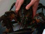 В Канаде не сварят омара Голиафа